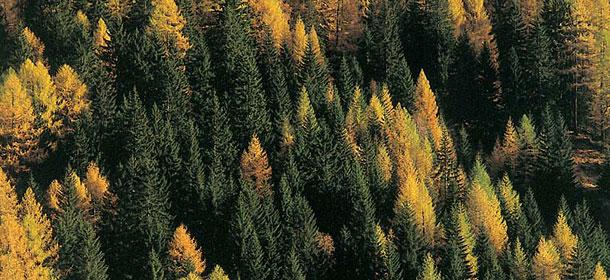 Daksy amici dei parchi naturali altoatesini la foresta for Le pigne dei larici